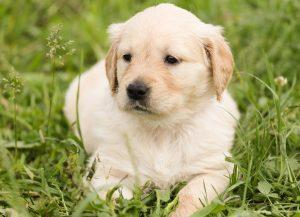 la consoude soigne les maladies de peau des chiens