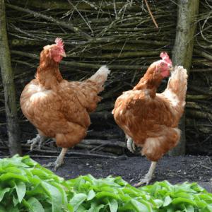 poule nourrit avec des produits naturels